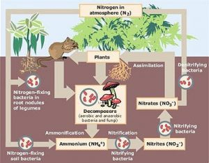 image of nitrogen cycle ecosystem